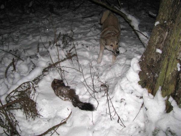 Охота на куницу: ловля капканами, самоловами, петлями, кулемками, с лайкой