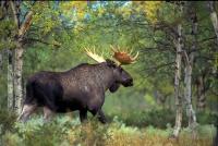 Охота на лося: с подхода, загоном, с лайками и другими собаками, зимой и осенью