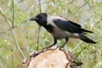 Охота на ворон с пневматикой: выбор места, тактика отстрела, куда стрелять