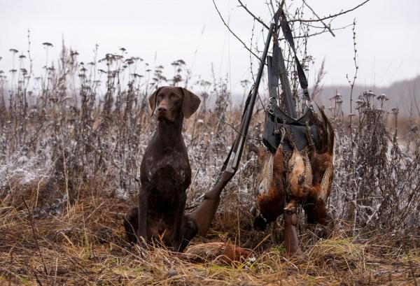 Охота с дратхааром: на зайца, птицу, кабана – натаска и дрессировка собаки на дичь