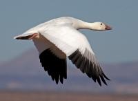 Охота на гуся весной: виды диких гусей, организация весенней охоты, выбор ружья