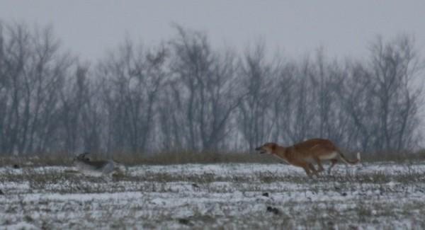 Охота на зайца зимой и осенью: с собакой и без, троплением, с подхода, ночью