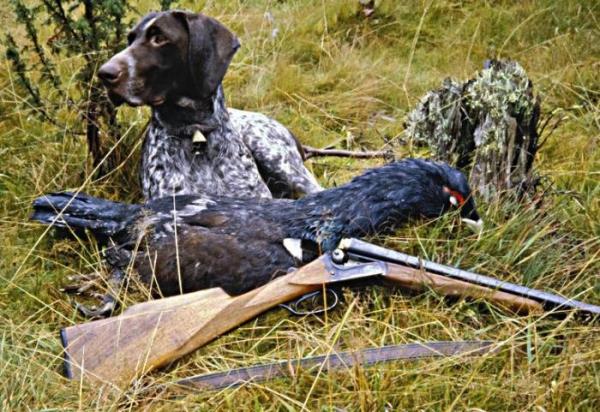 Охота на глухаря: весной на току, с собакой, с подхода и из скрадка – осенью и зимой