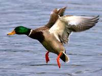 Весенняя охота на утку: с лодки или из шалаша, с подсадной или с чучелом