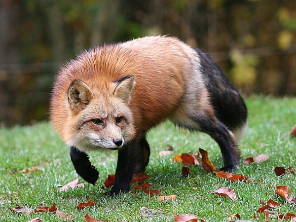 Охота на лис: с манком, с подхода, из засидки, с петлей, с собаками, зимой