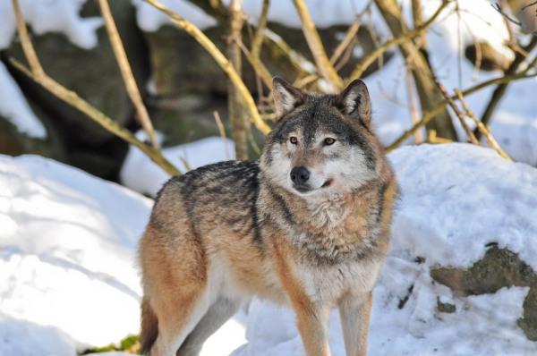 Охота на волка зимой и осенью: с капканами, собаками, флажками, беркутом