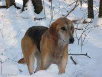 Собаки русские гончие: стандарт и преимущества породы, выбор кличек. Охота с русской гончей